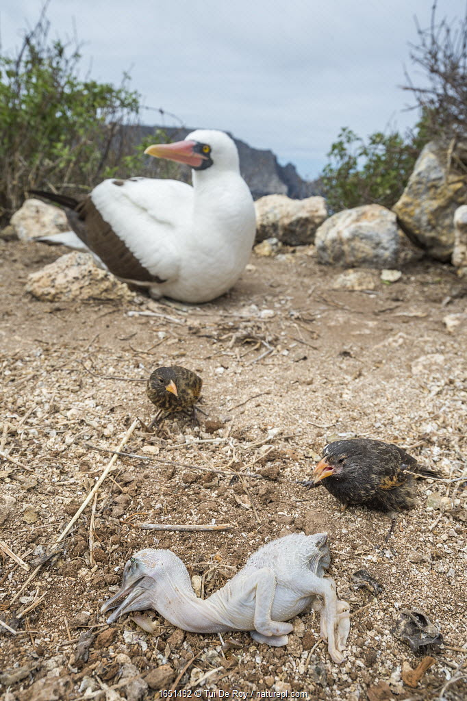 Vampire ground finch (Geospiza septentrionalis) preying on Nazca booby (Sula grantii) chick pushed out of nest, Wolf Island, Galapagos