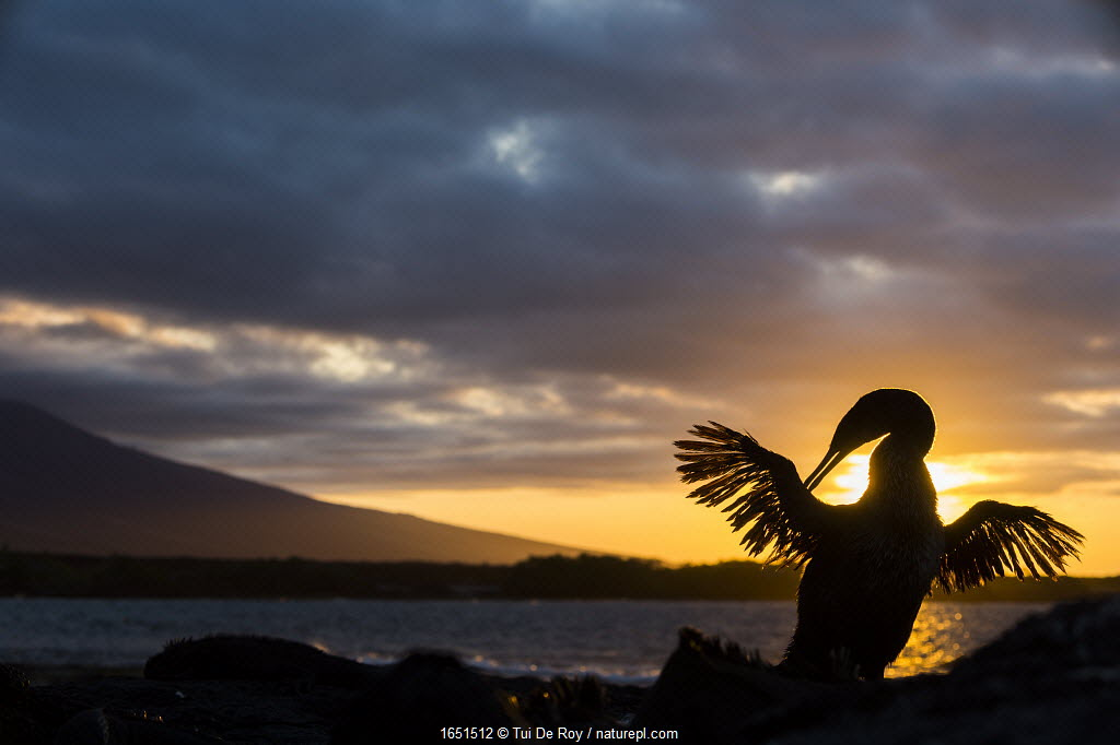 Flightless cormorant (Phalacrocorax harrisi) silhouetted at sunset, Punta Espinosa, Fernandina Island, Galapagos.