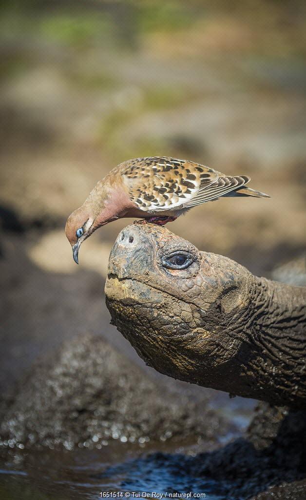 Galapagos dove (Zenadia galapagensis) on head of Galapagos giant tortoise, (Chelonoidis darwini) Santiago Highlands, Galapagos.