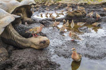 Galapagos dove (Zenadia galapagensis) flock at puddle, with one on head of Galapagos giant tortoise, (Chelonoidis darwini) Santiago Highlands, Galapagos.