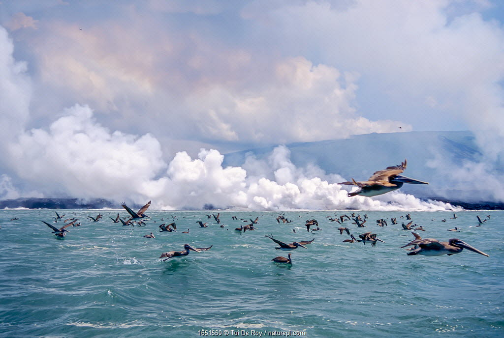 Brown pelicans (Pelicanus occidentalis) flock in flight over sea, Galapagos.