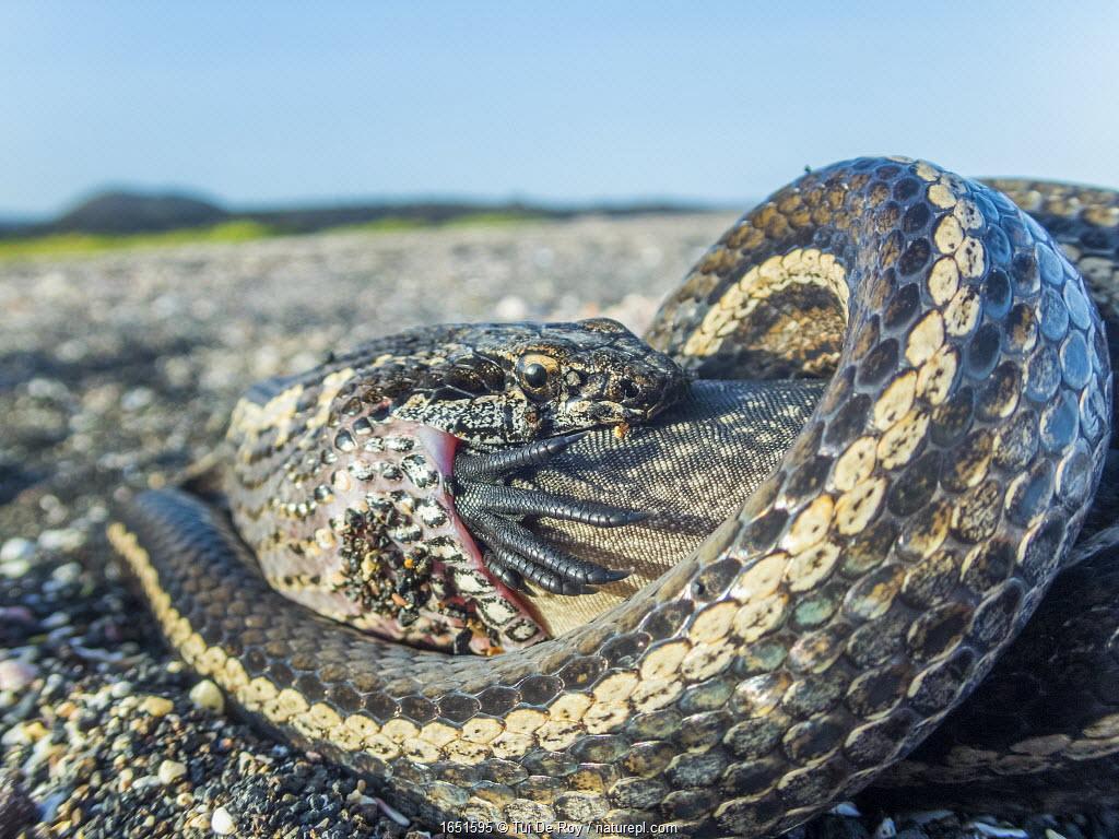 Galapagos racer snake (Pseudalsophis biserialis) feeding on marine iguana hatchling, Cape Douglas, Fernandina Island, Galapagos.