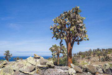 Santa Fe land iguana (Conolophus pallidus) next to Tree Prickly pear (Opuntia echios) Santa Fe Island, Galapagos