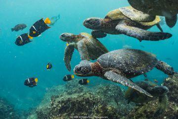 Green turtles (Chelonia mydas) swimming with angelfish, Punta Vicente Roca, Isabela Island, Galapagos.