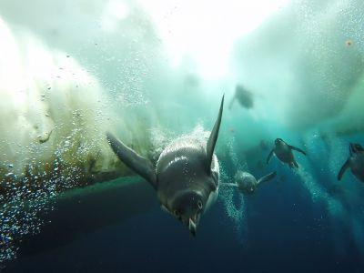Adelie penguins (Pygoscelis adeliae) swimming underneath sea ice, Antarctica.