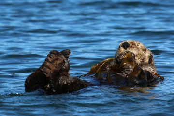 Northern sea otter (Enhydra lutris kenyoni) grooming, anchored in kelp, Kachemak Bay, Alaska, USA.