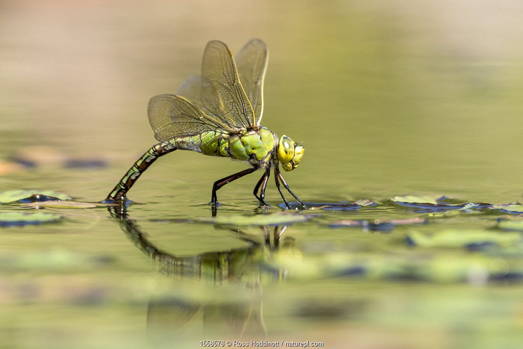 Female emperor dragonfly (Anax imperator) laying eggs on garden pond, Broxwater, Cornwall, UK. July