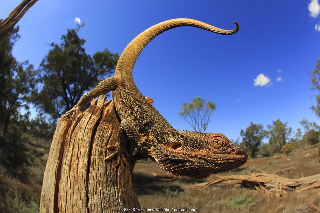 Central bearded dragon (Pogona vitticeps) male on stick in chenopod shrubland habitat, Meringur in NW Victoria, Australia.