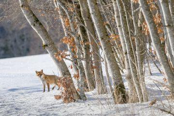 Red fox (Vulpes vulpes) at edge of woodland in winter snow, Jura, Switzerland