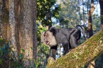 Lion-tailed macaque (Macaca silenus), dominant male, aggressive posture, Anaimalai Mountain Range (Nilgiri hills), Tamil Nadu, India