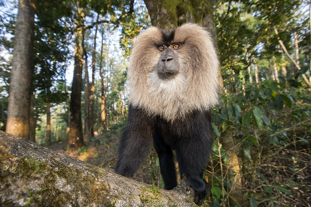 Lion-tailed macaque (Macaca silenus), dominant male, Anaimalai Mountain Range, Nilgiri hills, Tamil Nadu, India
