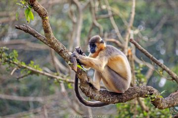 Capped langur (Trachypithecus pileatus), in tree,Trishna Wildlife Sanctuary, Tripura State, India