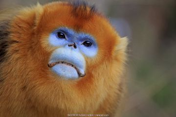 Golden snub-nosed monkey (Rhinopithecus roxellana), adult male, Qinling Mountains, Shaanxi province, China