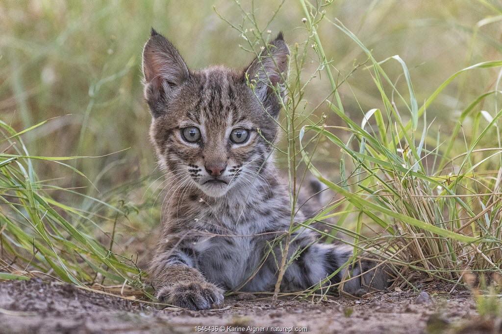 Portrait of a wild female Bobcat (Lynx rufus) kitten playing, Texas, USA. September.