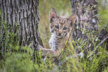 Portrait of a wild Bobcat (Lynx rufus) kitten in a tree, Texas, USA. September.