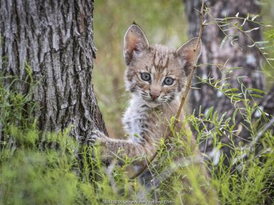 Portrait of a wild Bobcat (Lynx rufus) kitten in a tree, Texas, USA. September.