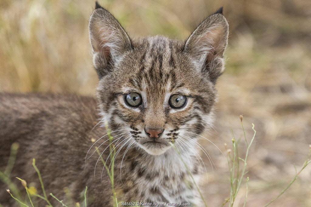 Portrait of a wild female Bobcat (Lynx rufus) kitten, Texas, USA. September.