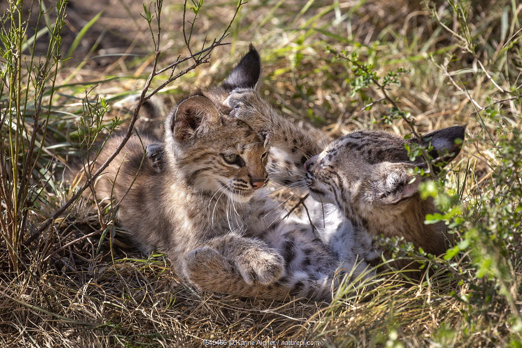 Two wild Bobcat (Lynx rufus) kittens playing in the bush. Texas, USA. September.