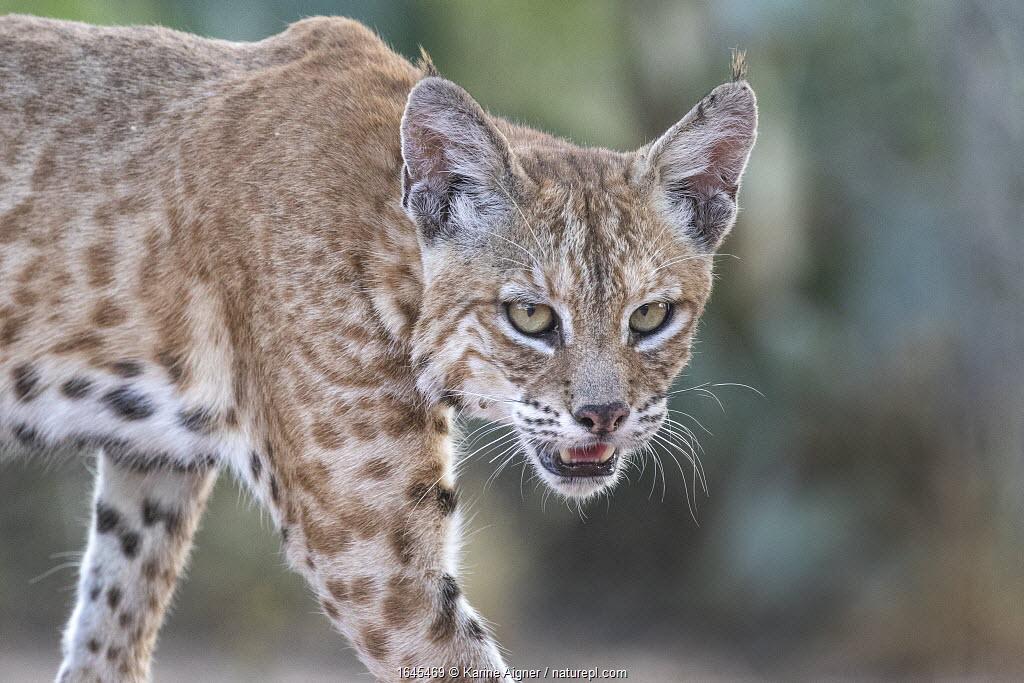 Portrait of a wild male Bobcat (Lynx rufus), Texas, USA. September.