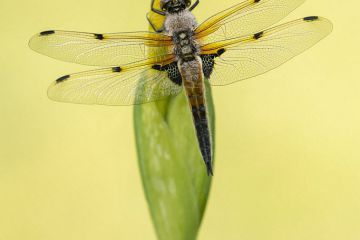 Four-spotted chaser dragionfly (Libellula quadrimaculata) dragonfly resting on Yellow Flag Iris flower bud (Iris pseudacorus), early morning, Broxwater, Cornwall, UK. May