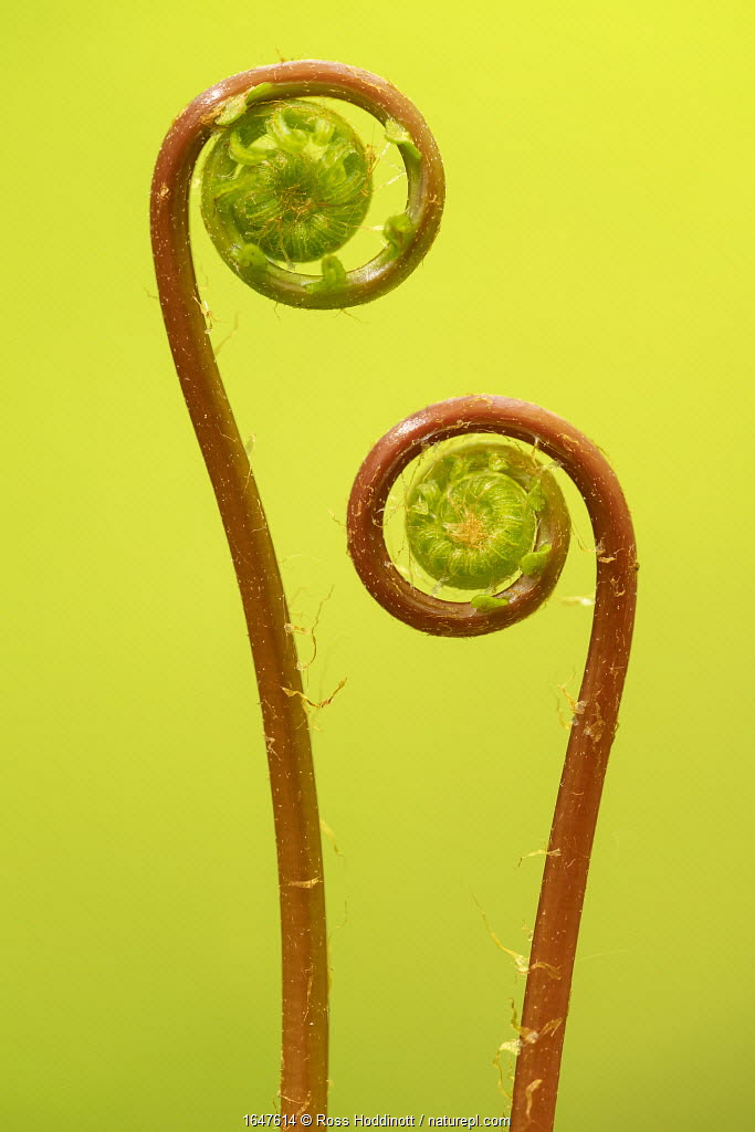 Two hard fern (Blechnum spicant) fronds uncurling, Coombe Valley, Cornwall, UK. May