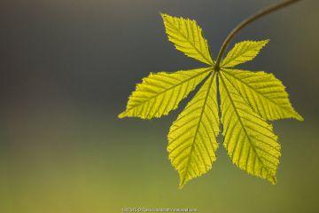 Horse chestnut (Aesculus hippocastanum) leaf, freshly emerged and backlit by evening sunlight. Cornwall, UK. April.