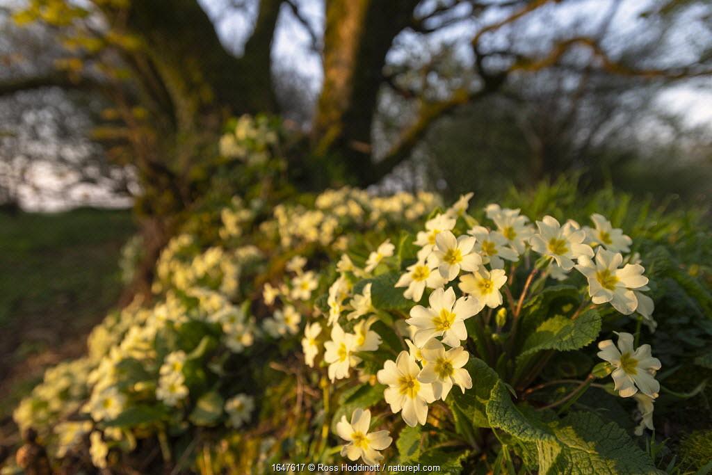 Common primroses (Primula vulgaris) in flower along Cornish hedgerow, Kilkhampton, Cornwall, UK. April.