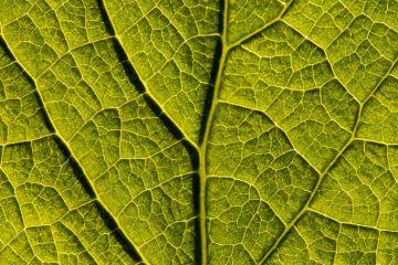 Dandelion leaf close-up (Taraxacum officinale), Cornwall, UK. May