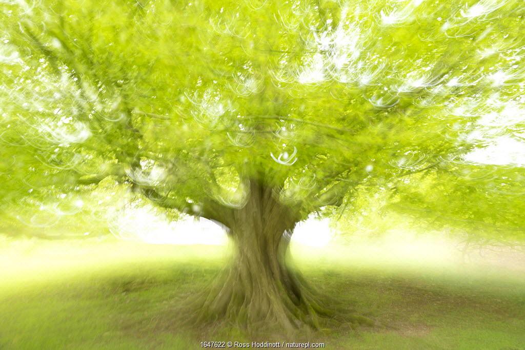 Beech tree (Fagus sylvatica) photographed using ICM (Intentional Camera Motion), Broxwater, Cornwall, UK. April