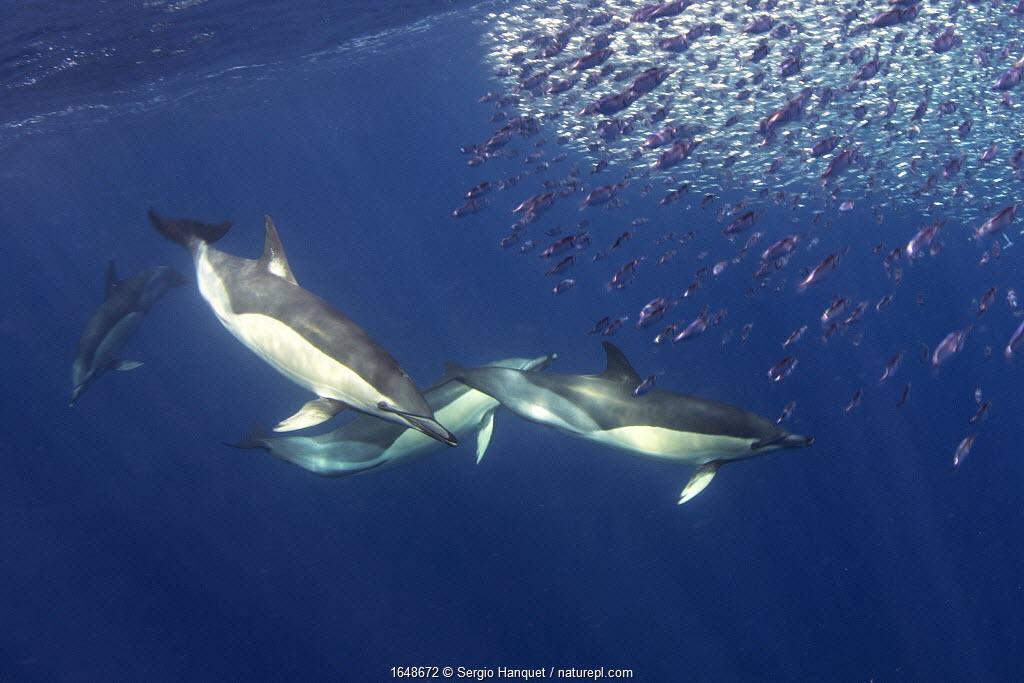 Short-beaked common dolphin (Delphinus delphis) feeding on Snipe fish (Macroramphosus scolopax) Tenerife, Canary Islands.