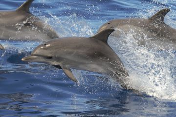 Atlantic spotted dolphin (Stenella frontalis) juvenile porpoising, with pod, Tenerife, Canary Islands.