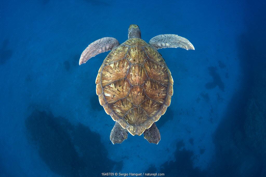 Green sea turtle (Chelonia mydas) Tenerife, Canary Islands.