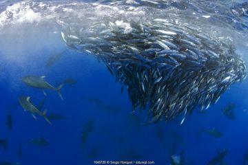 Yellowfin tuna (Thunnus albacares) hunting mackerel (Scomber colias) Tenerife, Canary Islands.