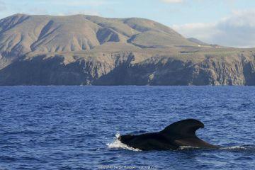 Pilot whale (Globicephala macorhynchus) at surface. Montana de Guaza, Tenerife, Canary Islands.