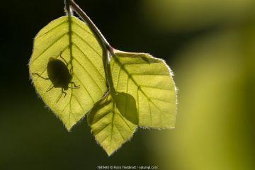 Green shieldbug (Palomena prasina) silhouetted on beech leaves (Fagus sylvatica), Broxwater, Cornwall, UK. May.