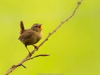 Wren (Troglodytes troglodytes) singing, early morning in spring, Broxwater, Cornwall, UK. April.