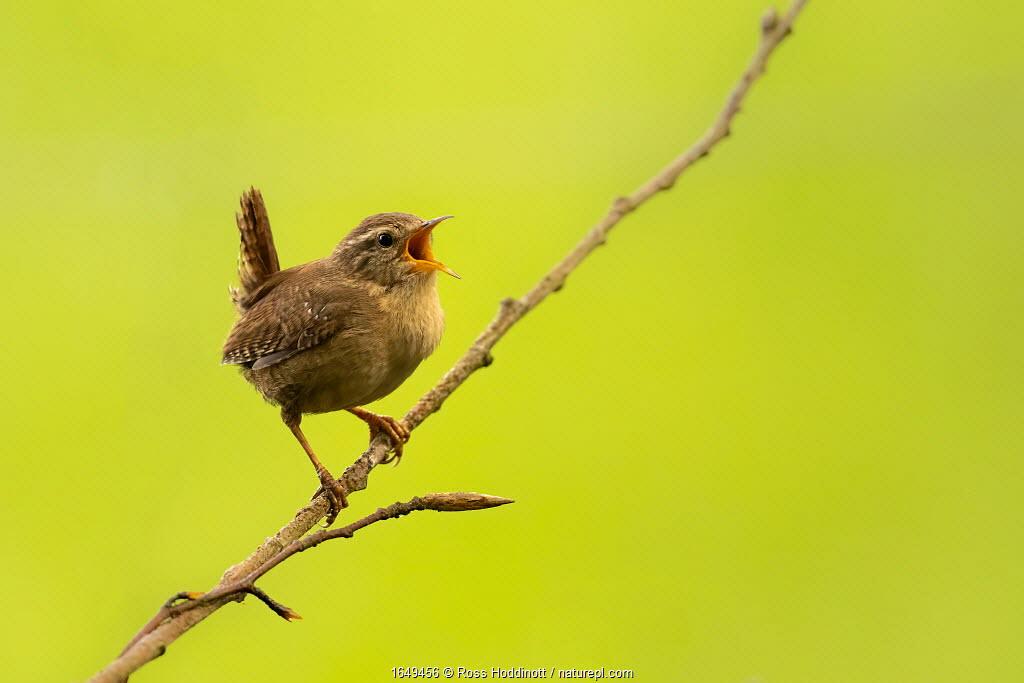 Wren (Troglodytes troglodytes) singing, early morning in spring, Broxwater, Cornwall, UK. April.