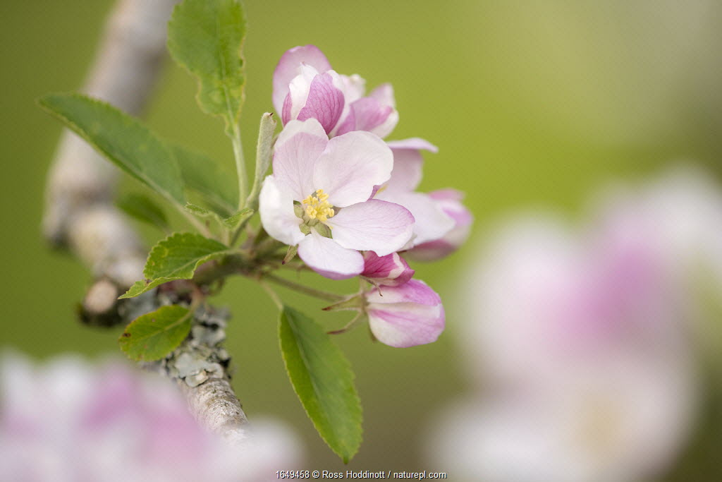Apple tree (Malus domestica) blossom in orchard in spring, Broxwater, Cornwall, UK. April.
