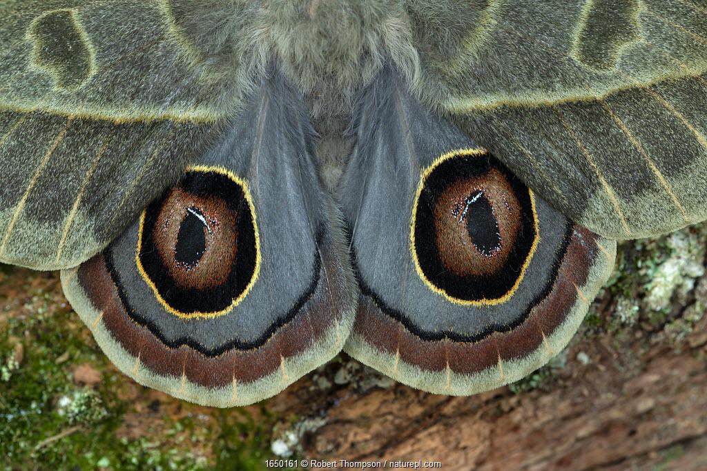 Saturniid moth (Leucanella hosmera), Chiriqui Province, Panama, South America