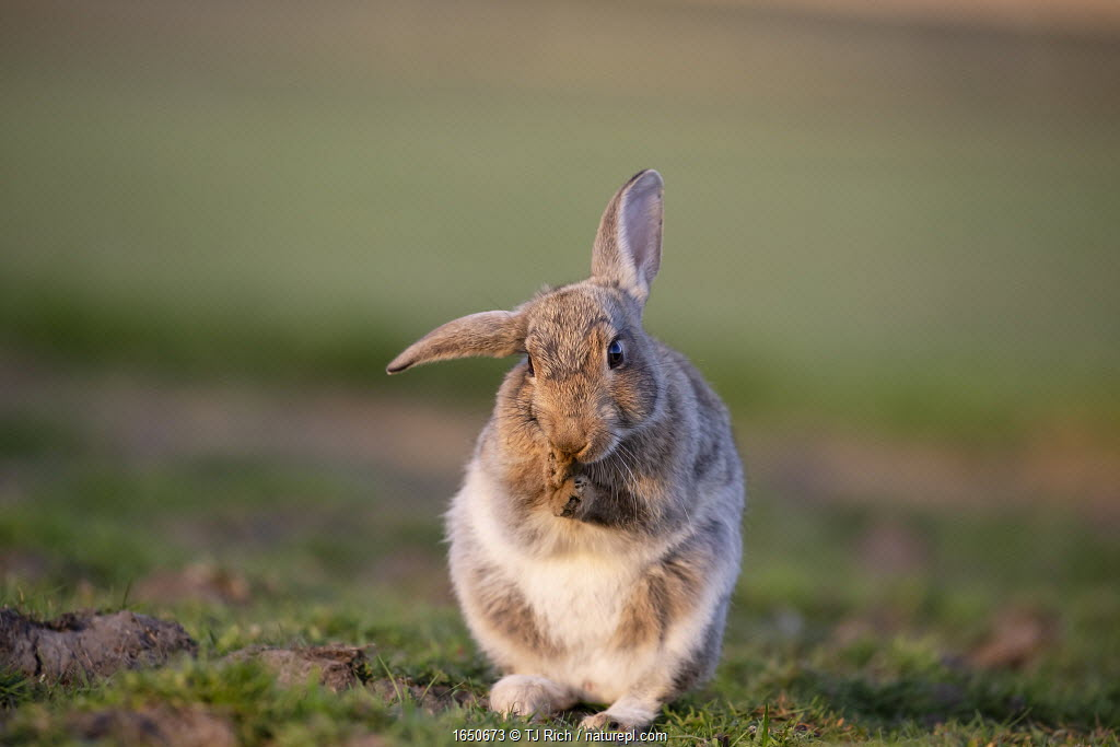 Rabbit (Oryctolagus cunniculus) juvenile grooming ears, Wiltshire, UK, May. Sequence 3 of 3