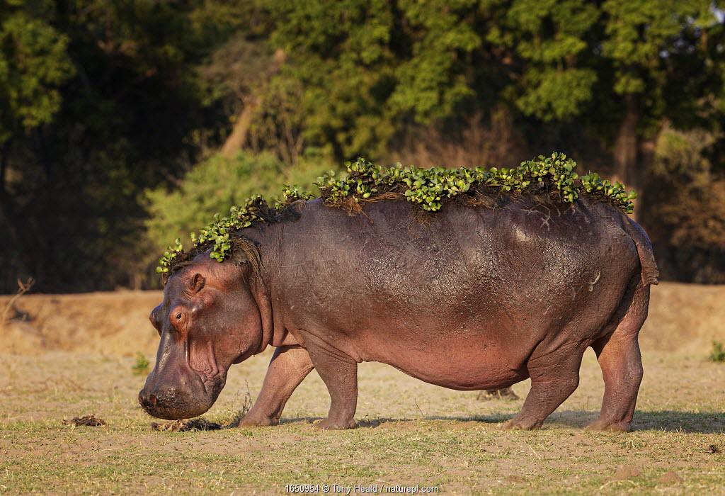 Hippopotamus (Hippopotamus amphibius) with water hyacinth still on back after leaving water, Mana Pools National Park, Zimbabwe.