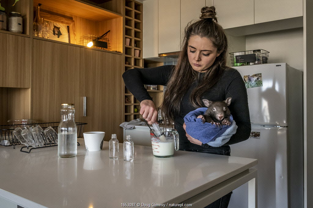 Emily Small, founder of Goongerah Wombat Orphanage, wildlife rescuer and carer, makes up a wombat feed supplement, whilst holding 'Bronson' (8 months old), one of the three orphaned and rescued baby bare-nosed wombats (Vombatus ursinus) in her care.