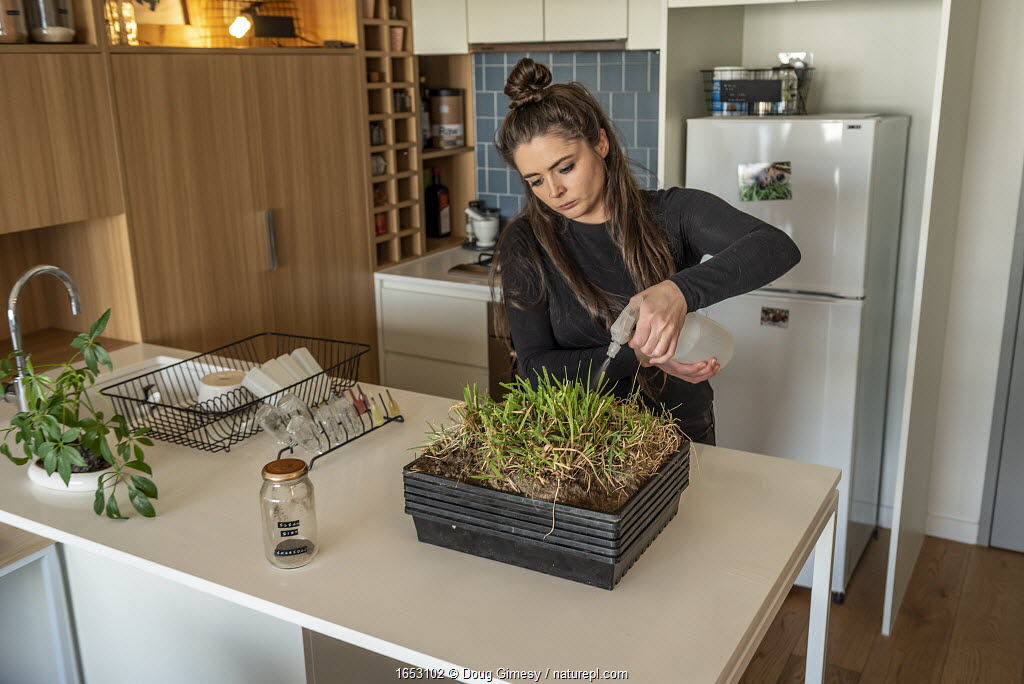 Emily Small, founder of Goongerah Wombat Orphanage, wildlife rescuer and carer, watering grass she is growing in her Melbourne inner city apartment that will be used to supplemently feed three orphaned and rescued baby bare-nosed wombats (Vombatus ursinus).