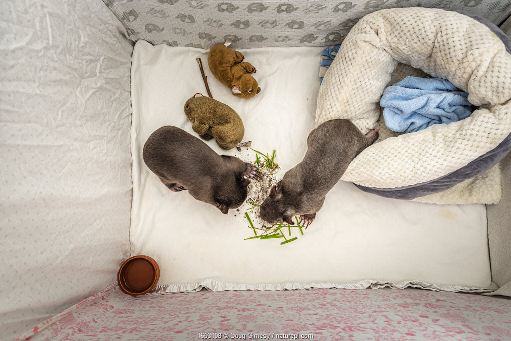 Two orphaned and rescued male baby bare-nosed wombats (Vombatus ursinus) in a cot. 'Bronson' (left) and 'Landon' (right). With local soil and grass placed in the cot.