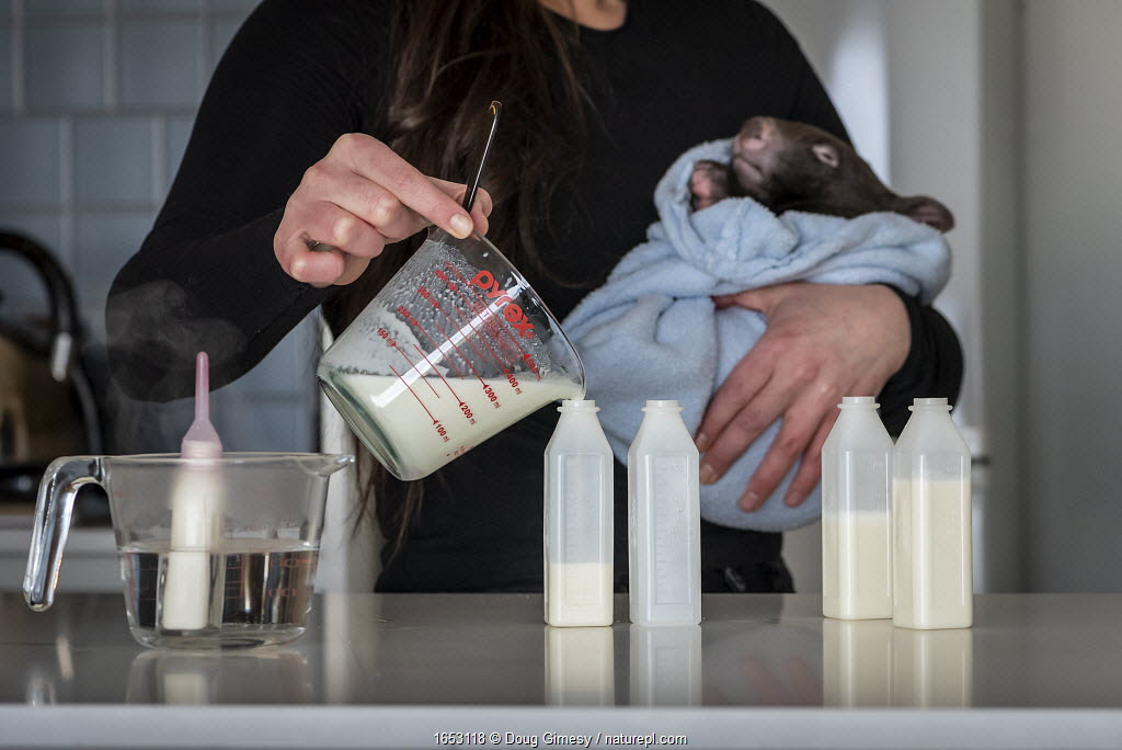 Emily Small, founder of Goongerah Wombat Orphanage, wildlife rescuer and carer, makes up a wombat feed supplement, whilst holding 'Bronson' an orphaned and rescued baby bare-nosed wombats (Vombatus ursinus) aged 9 months.