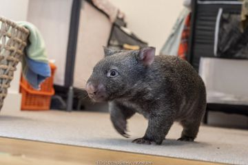 A 9-month-old orphaned and rescued baby bare-nosed wombat (Vombatus ursinus) 'Beatrice', exploring apartment.