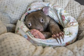 An 8-month-old male orphaned and rescued baby bare-nosed wombat (Vombatus ursinus) named 'Landon', in a home-made pouch. Cared for by Emily Small, founder of Goongerah Wombat Orphanage.