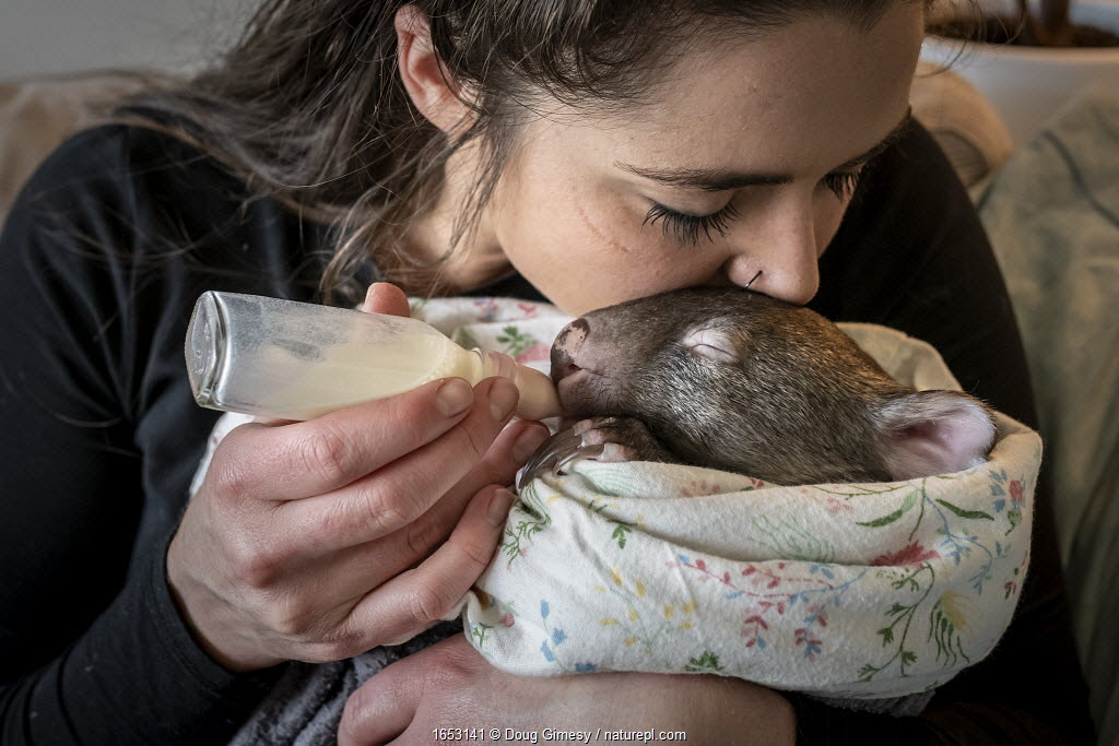 An 8-month-old male orphaned and rescued baby bare-nosed wombat (Vombatus ursinus) 'Landon', bottle fed a food supplement by Emily Small, founder of Goongerah Wombat Orphanage.