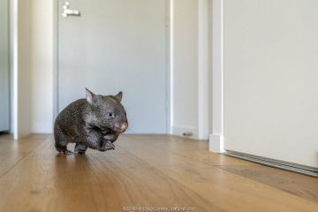 A 9-month-old orphaned and rescued baby bare-nosed wombat (Vombatus ursinus) 'Beatrice', running in apartment.