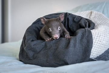 A 7-month-old male orphaned and rescued baby bare-nosed wombat (Vombatus ursinus) named ';Bronson', in a home-made pouch. Cared for by Emily Small, founder of Goongerah Wombat Orphanage.